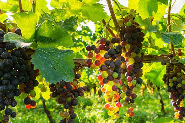 ワイン選びのポイント ブドウの品種で選ぶ